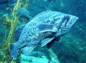 New Species: Ocean Whitefish and Blue Rockfish | socalsalty - photo#17